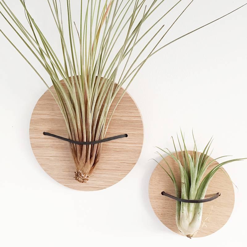 Airplants Tillandsia Ionantha Scaposa - Filles de l'air