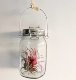 Airplants Tillandsia Ionantha Rouge - Filles de l'air