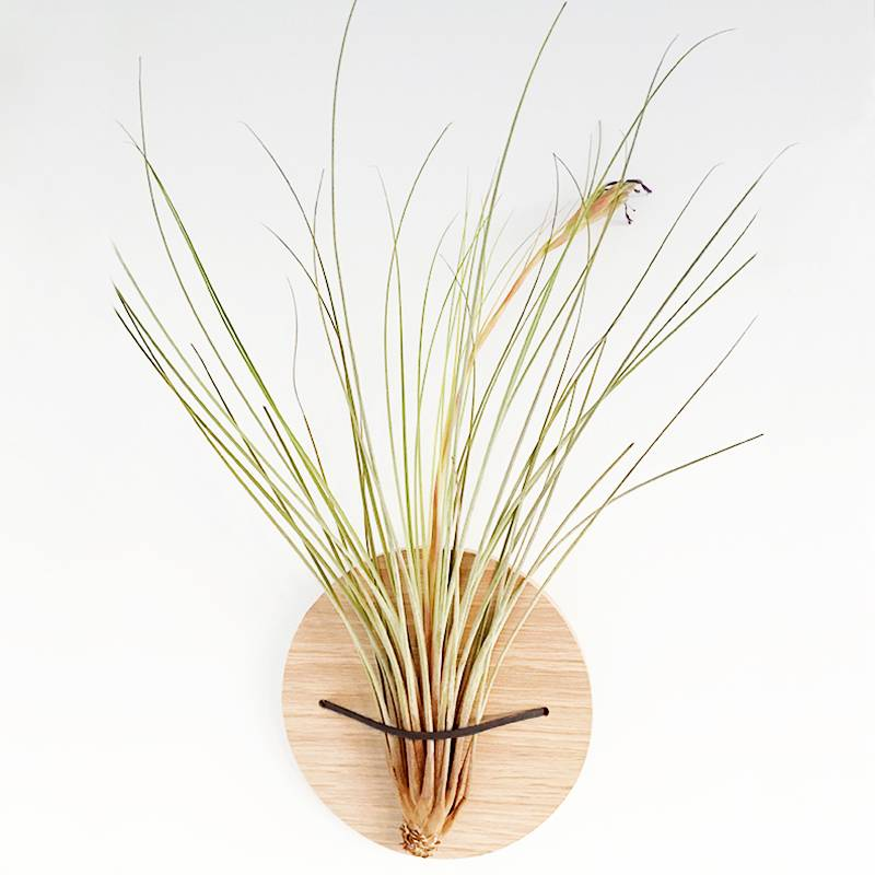 Airplants Tillandsia Juncea M - Filles de l'air