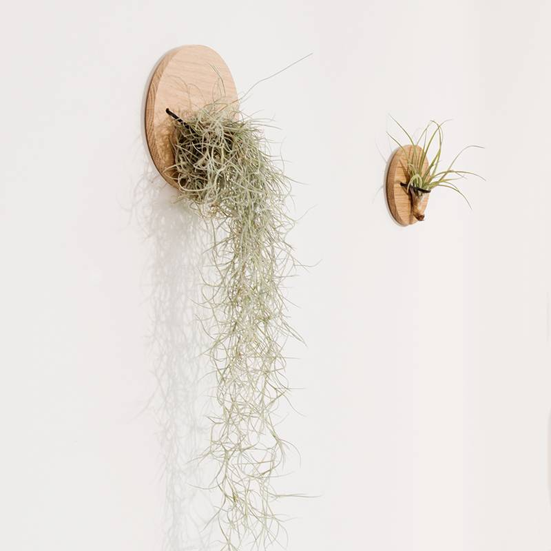 Airplants Tillandsia Usneoides