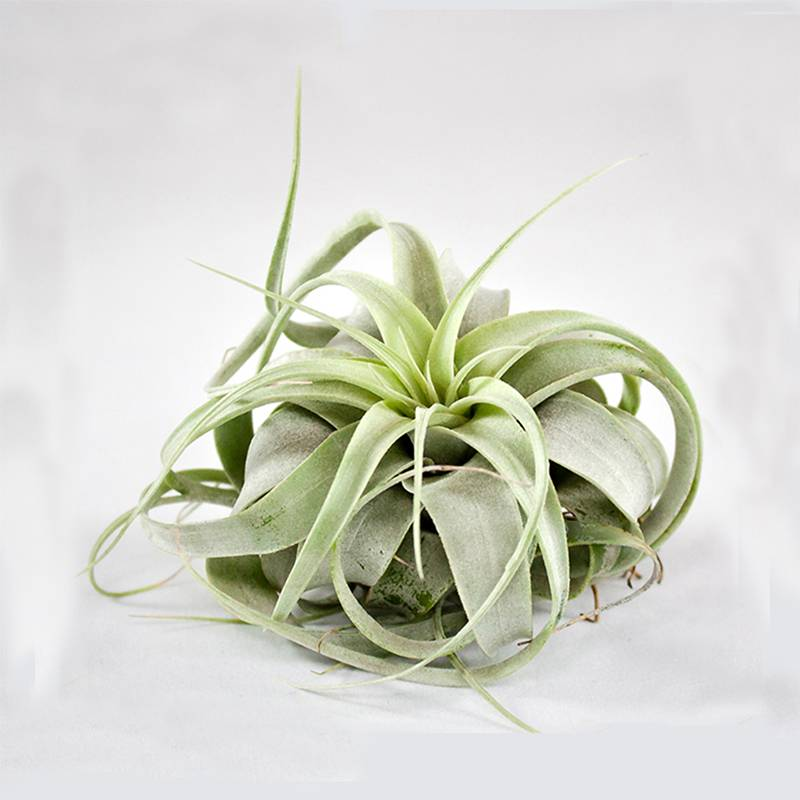 Airplants Tillandsia xerographica