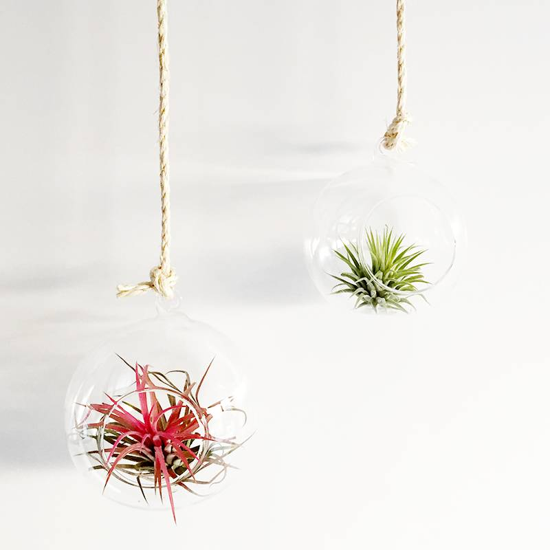 Airplants Glasbol