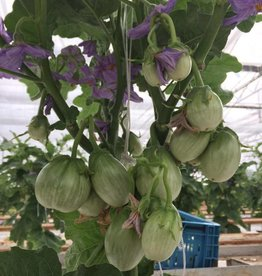 Eggplant (eigen teelt @koy) 1kg.