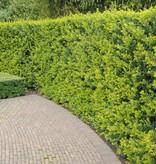 Conifer Thuja Brabant (100cm/120cm)