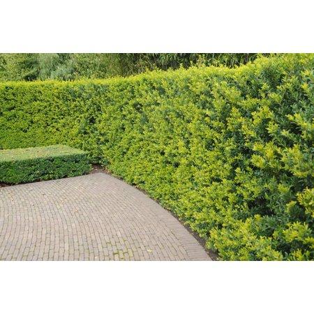Conifer Thuja Brabant  (140cm/160cm)