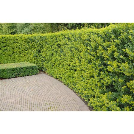 Lebensbaum Thuja Brabant (140cm/160cm)