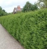 Lebensbaum Thuja Brabant (160cm/180cm)