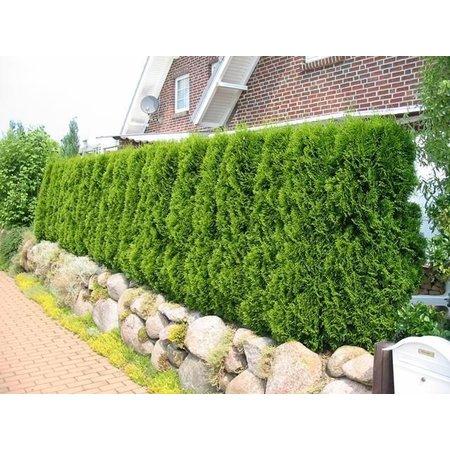 Conifer Thuja Smaragd (60cm/80cm)