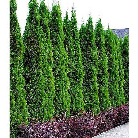 Conifer Thuja Smaragd (100cm/120cm)