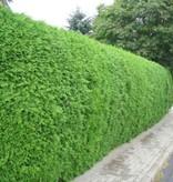 Conifer Thuja Brabant (160cm/180cm)