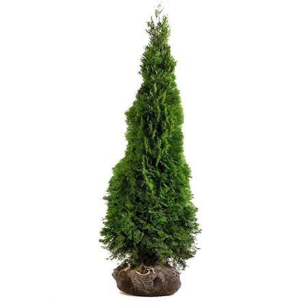 Koniferen Thuja Smaragd (60cm/80cm)