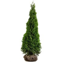 Conifer Thuja Emerald  5.2ft / 5.6ft (160cm /167cm) High
