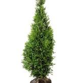 Conifera thuja Brabant (120 cm/140 cm)