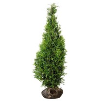 Conifer Thuja Brabant 3.9ft / 4.6ft (120cm/140cm) High