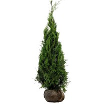 Conifer Thuja Plicata Martin (80cm/100cm)