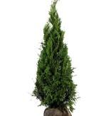 Conifère Thuja Plicata Martin (160cm/180cm)