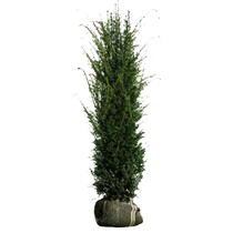 Taxus Baccata  (Yew Hedge) 5.2ft / 5.9ft (160cm/180cm High)