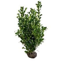 Prunus Laurocerasus Novita 2.6ft /3.2ft (80cm/100cm) High