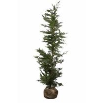 Conifer Cupressus Leylandii 4.1ft / 4.9ft  (125cm/150cm) High
