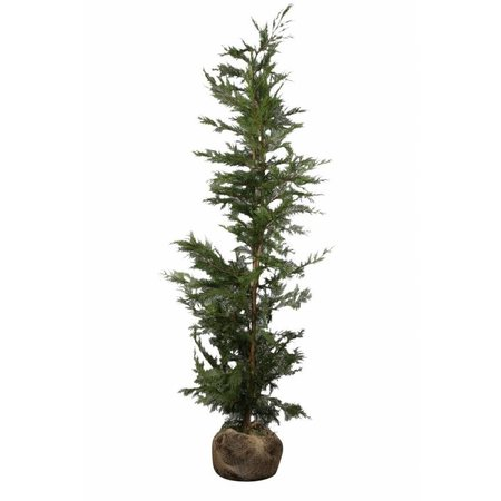 Conifère Cupressus Leylandii (125cm/150cm)