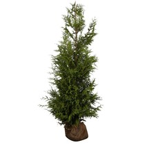 Conifer Thuja Plicata Excelsa (100cm/120cm)