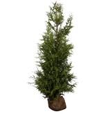 Thuja Plicata Excelsa (140cm/160cm)