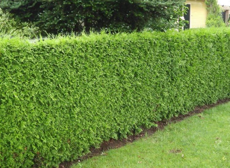thuja plicata excelsa conifer 5 2ft 5 9ft high dutch plants com