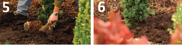 How To Plant Conifers