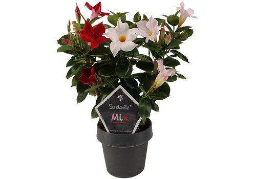 Sundaville Mandevilla mix Red & White