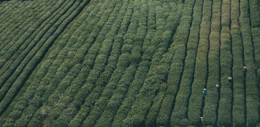 Privé: Het ontstaan van thee en zijn geneeskrachtige werking
