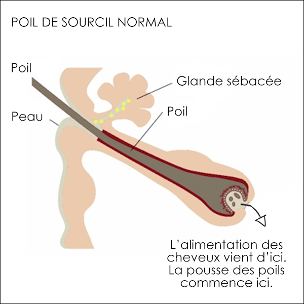 Poil de sourcil normal