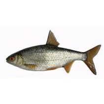 Coarse Fish