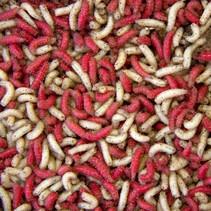 Mixed Maggot 1pt