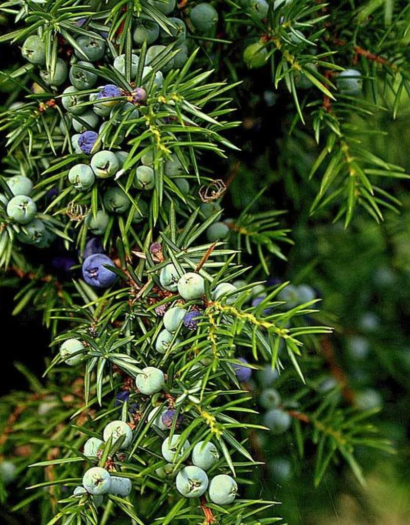 Bio Ginepro - Juniperus communis