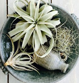 xerographica medium