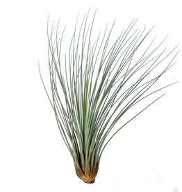 Airplants - Juncea