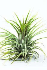 Airplants - Ionantha green