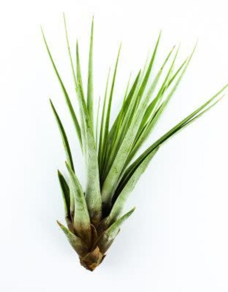 Airplants - Fasciculata