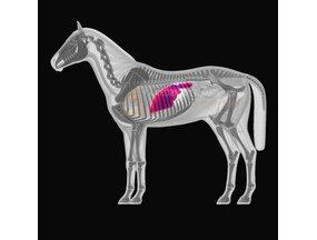 De lever en de nieren van je paard ondersteunen