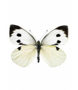 Hagedornhagen Hagedornhagen muursticker Butterfly 956