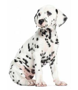 Muursticker Dalmatian Puppy