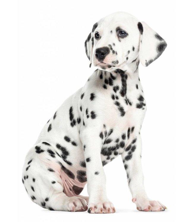 Wall sticker Dalmatian Puppy, 31 x 43 cm