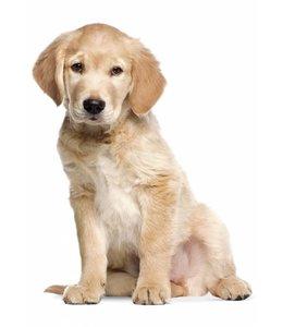 Wandtattoo Golden Retriever Puppy