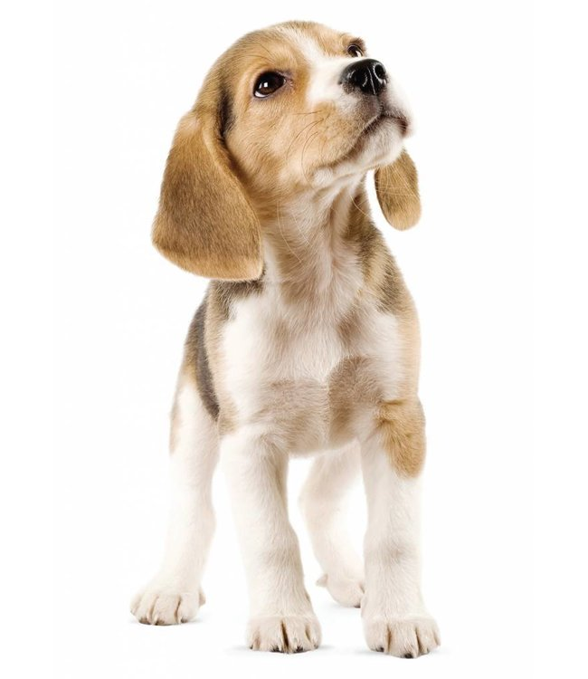 Wall sticker Beagle Puppy, 14 x 30 cm