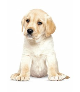 Muursticker Labrador Puppy