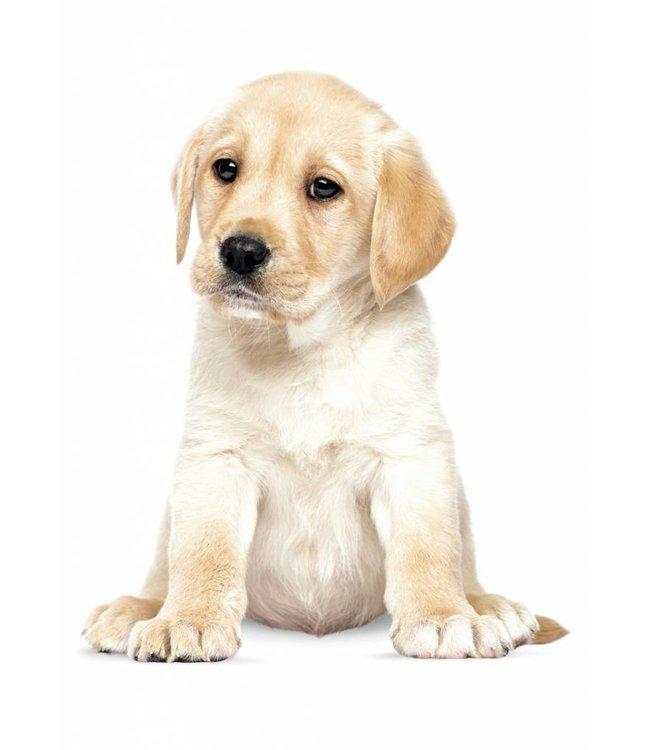 Wandtattoo Labrador Puppy, 24 x 28 cm