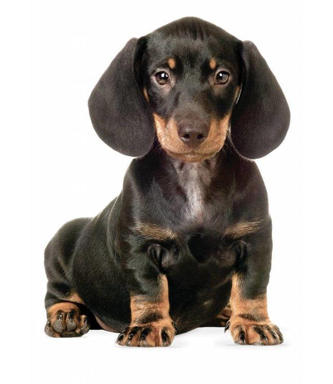 Muursticker Teckel Puppy, 17 x 23 cm