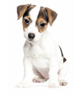 Muursticker Jack Russel Puppy