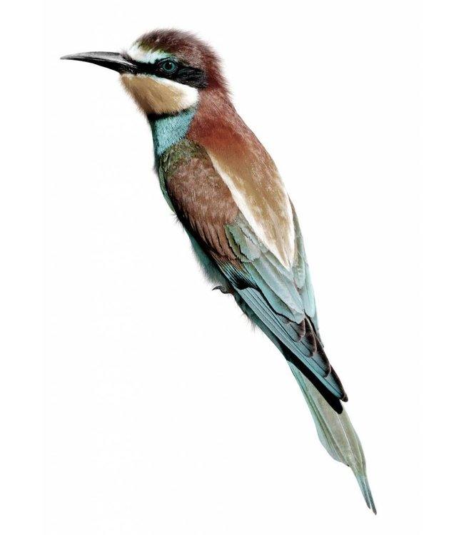 Wall sticker Bee Eater, 8 x 28 cm