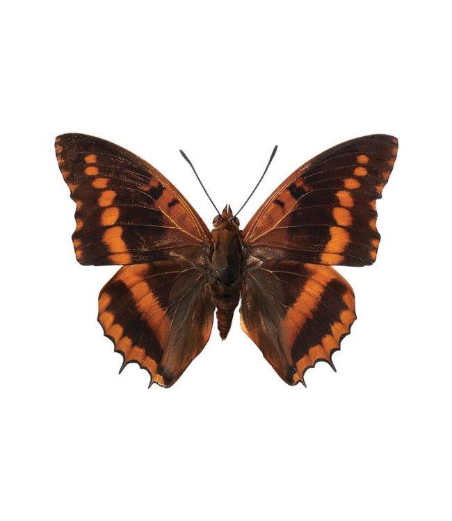 Hagedornhagen Hagedornhagen muursticker Butterfly 954, 17 x 12 cm